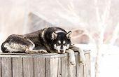 stock photo of siberian husky  - Siberian Huskies in nursery for dogs on Kamchatka - JPG