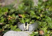 foto of tit  - a small great tit showing off its wingspan - JPG