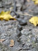 image of snake-head  - Grass-snake lying on stone in the sun ** Note: Shallow depth of field - JPG