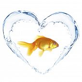 foto of goldfish  - Goldfish in water splashes in shape of heart - JPG