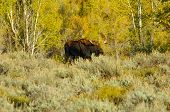 Bull Moose In A Field Of Golden Grass