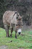 pic of headstrong  - picture of a Poor wet donkey on the rain - JPG
