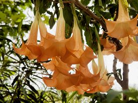 picture of angel-trumpet  - blossom of the toxis plant angel - JPG
