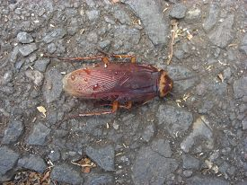 image of creatures  - Winged cockroach about 2 inches long - JPG
