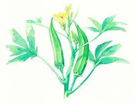 stock photo of okras  - Ladyfinger or Okra on water color painting - JPG