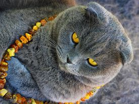 picture of scottish-fold  - scottish fold grey cat in the amber beads - JPG