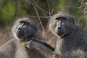 Chacma baboons engaged in mutual grooming