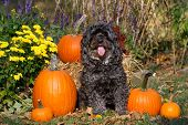 image of maltipoo  - a capture of a maltipoo dog in a fall setting - JPG