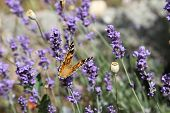 pic of boiling point  - A breathtaking butterfly on lavender in garish sunshine