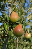 Pears in Tree