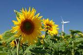 Sonnenblumen und Windkraftanlage