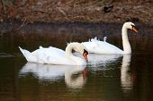 Two Swans On Lake In The Windy Evening
