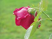 Red Rose After Rain poster