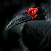 Bucorvus