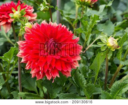 Flower dahlia Excalibur