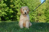 Goldendoodle Puppy 1