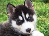 pic of cute dog  - A very cute even adorable Husky puppy - JPG