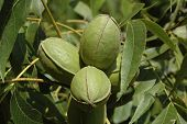 stock photo of pecan tree  - Cluster of green pecans in pecan tree - JPG
