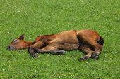 Foal resting on Spring meadow