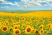 Sunflower field and cloudy blue sky