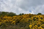 Thorny Evergreen Bush Known As A Yellow Gorse Bush. poster