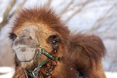 picture of hump  - Camel is an ungulate within the genus Camelus - JPG