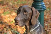 A German Shorthaired Pointer, 3 Year Old Male poster