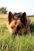 pic of alsatian  - Portrait of a beautiful german shepherd or alsatian dog lying in the grass  and observation - JPG
