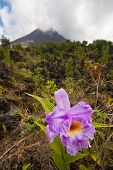 Orchid And Volcano