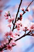 stock photo of cherry blossom  - Pink plum blossom against blue sky - JPG