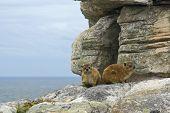Pair Of Rock Hyrax - Dassie African Mountains Inhabitants