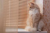 Siberian cat on the windowsill