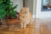 Beautiful ginger long hair cat walking around the house, sitting on the floor at home poster