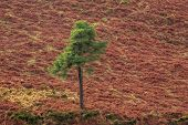 Lone Evergreen Tree On A Red Slope In A Turf Bog poster