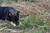 Mixed-breed dog hewing bone in the dry grass poster