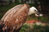 Close-up Face Looks Vulture. Bird Of Prey Scavenger Closeup poster