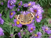 Buckeye Butterfly on New York Asters