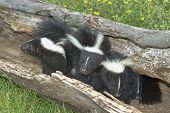image of skunk  - Three baby skunks in hollow log - JPG