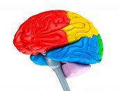 picture of cognitive  - Brain lobes in different colors - JPG