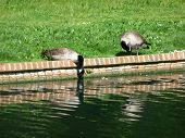 Canadian Geese Drinking