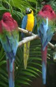 Green Winged And Yellow And Gold Macaws
