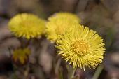 Coltsfoot Closeup