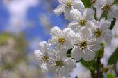 Bloom Cherry Grow Spring White