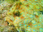 Peacock Flounder Close Up