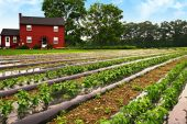 image of farm-house  - Rows of young pepper plants on a farm - JPG