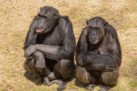 image of chimp  - Male adult chimps sitting next to a female chim carrying its baby - JPG