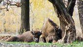 Herd Of Wild European Bison (bison Bonasus) In Autumn Deciduous Forest