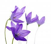 stock photo of harebell  - Bellflower isolated on a white background - JPG
