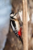 Great Spotted Woodpecker Eating Fat In The Garden