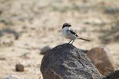 Southern Grey Shrike -lanius Meridionalis